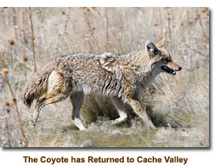 Coyotes returning to Cache Valley