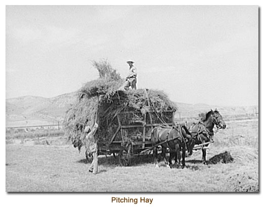 Pitching Hay