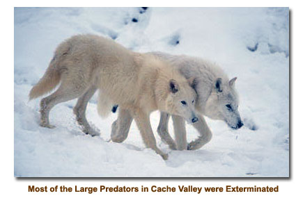 Large Predators were exterminiated, like the wolf